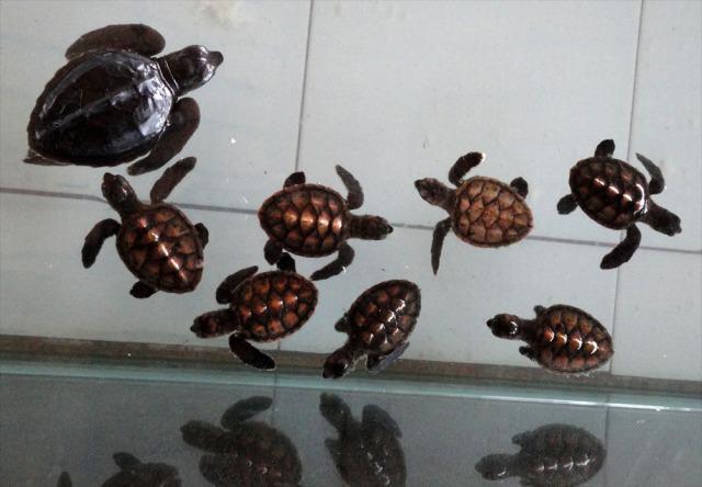 kehidupan kura-kura yang dilindungi di Gili Trawangan