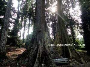 sepasang pohon jodoh di Kebun Raya Bogor