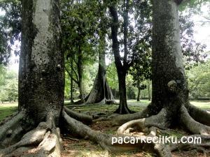 randu kembar di Kebun Raya Bogor